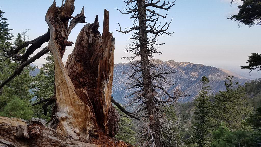 Cool tree cameo